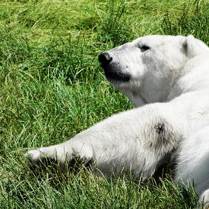 Liggende isbjørn der lige er vågnet