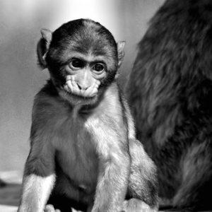 Black and white abe - en berberabe unge som er meget nedtrykt