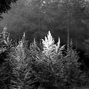 Det sort/hvide gran - grantræer i regn sort hvidt fotografi fra billeder4you