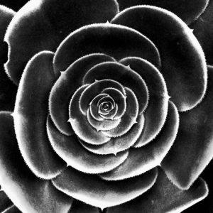 Black and white onion. Er et sort hvid fotografi af et husløg fra billeder4you
