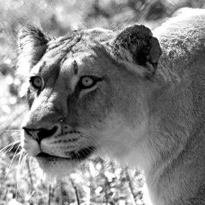 """""""She lion"""" Denne løvinde er på jagt efter sit bytte. Foto fra billeder4you"""