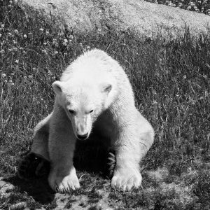 Black and white sitting bear . isbjørn på jagt - billeder4you