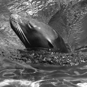 Black and white sea lion - søløve-sort/hvid-billeder4you