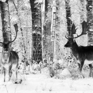 Deer in the snow - hjorte i sneen - billeder4you
