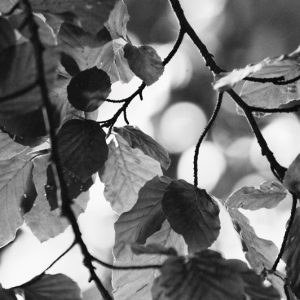 Black and white leaf - bøgeblade - billeder4you