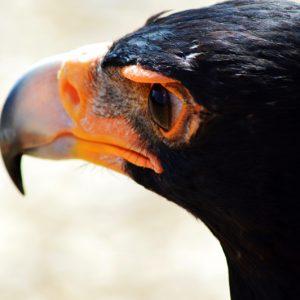 closeup af ørn