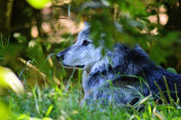 ulv der ligger i skyggen -billeder4you