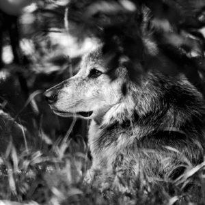 Ulv i sort og hvidt - ulv i sort/hvid ligger i skyggen