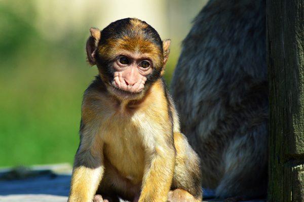 berberabe unge studere menneskerne - nogen har stjålet min banan