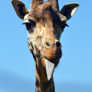 fræk giraf - foto af giraf der rækker tunge