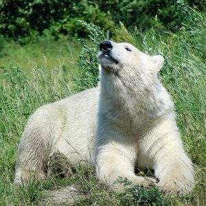 isbjørn der soler sig