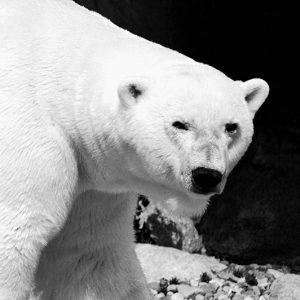 Polarbjørn på vandretur taget af billeder4you