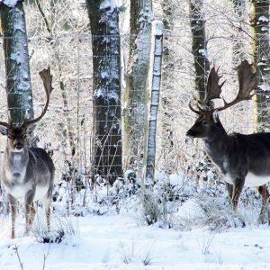 Hjorte i sneen - foto af Dåhjorte der kigger på hinanden