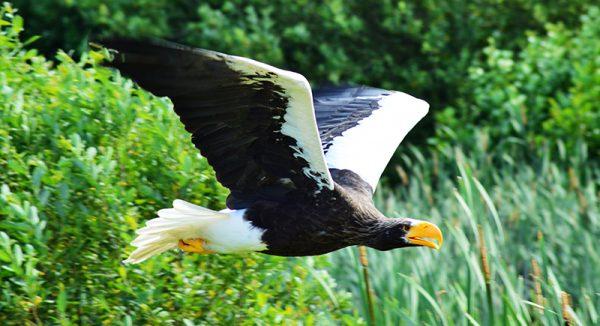 Flyvende Stellerørn - billede af flyvende stellersørn