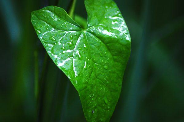 Efeu - Billede af grønt blad
