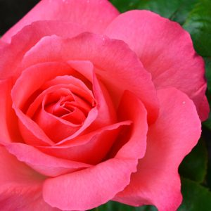 Billede af rose taget af billeder4you