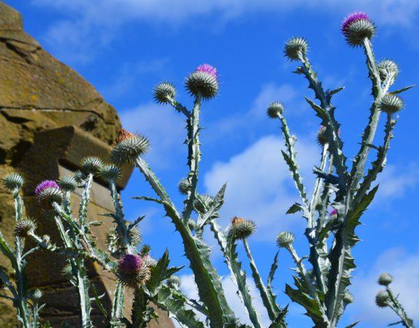 Skotlands tidsel - Skotlandsnational blomst tidselen