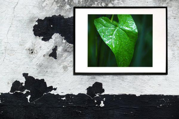 Efeu - Foto af grønt blad