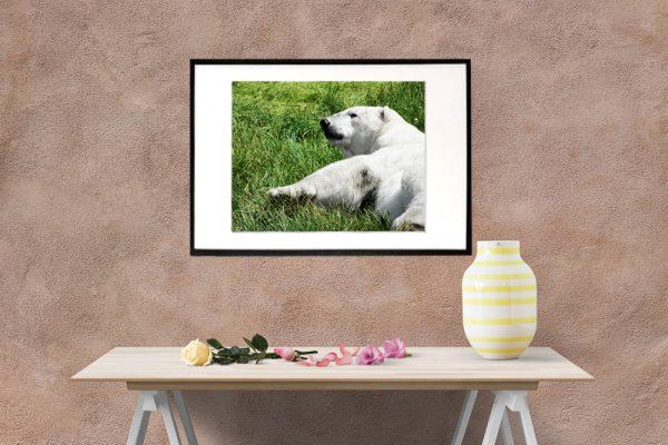 Liggende isbjørn - foto af isbjørn der lige er vågnet