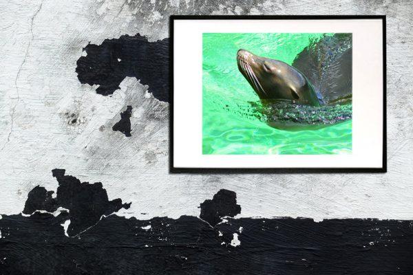 søløve der tager sig en svømmetur i det friske vand taget af billeder4you