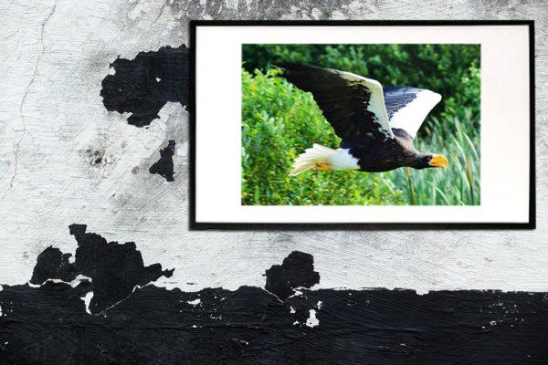 foto af flyvende ørn taget af billeder4you