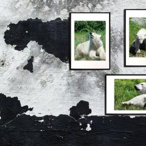 3 isbjørne billeder